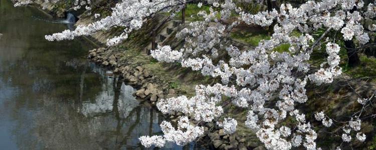 桜,千葉,松戸,花見スポット,穴場