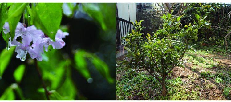広いお庭には、ていねいに植えられた梅の木やしだれ桜、そして小さなみかんの木が。どれも小ぶりでいい感じ。